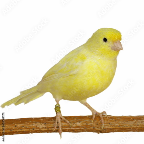 Fotografia  Yellow canary Serinus canaria on a white background