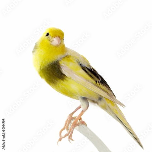 Yellow canary Serinus canaria isolated on white Obraz na płótnie