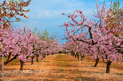 almond blossoms Fototapete