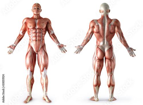 Fotografie, Tablou anatomy, muscles