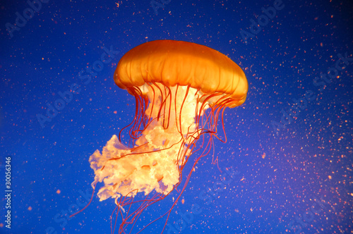 Photographie Qualle Jellyfish