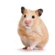 Leinwandbild Motiv hamster