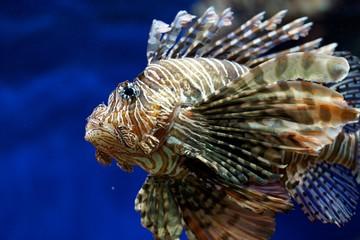 Fototapeta na wymiar Lion-fish