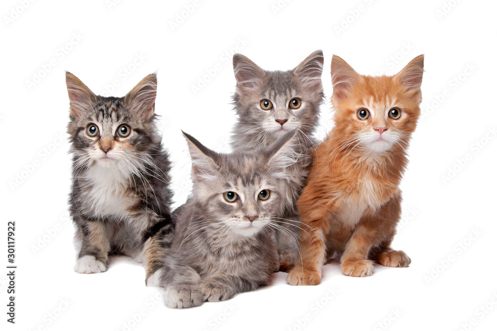 Fototapety, obrazy: Four main coon cittens in a row