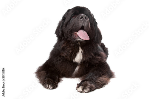 Photo  Newfoundland dog isolated on white