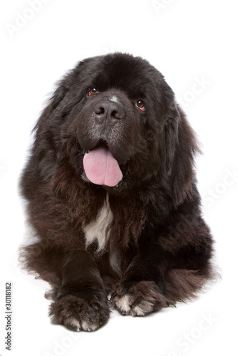 Photo  Newfoundland (dog)