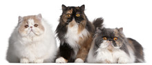 Persian Cats In Front Of White...