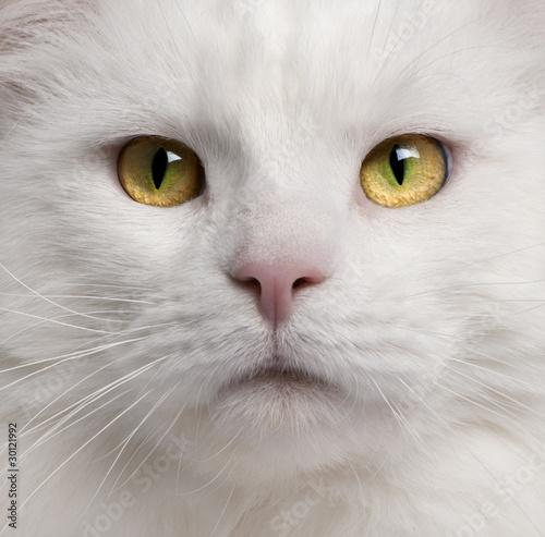 Naklejki zwierzęta zblizenie-kota-rasy-maine-coon-3-lata