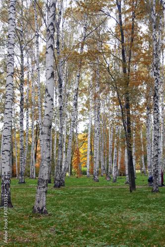 Spoed Fotobehang Berkbosje birch trees in early autumn