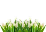 Fototapeta Tulips - weiße tulpen