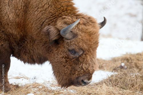 Fototapety, obrazy: Bison