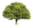 Leinwanddruck Bild - Oak tree isolated