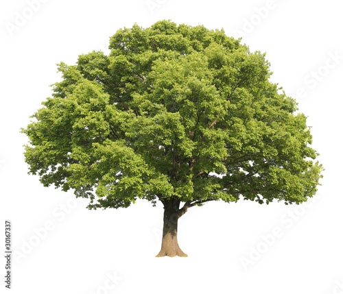 Fotografie, Obraz Oak tree isolated