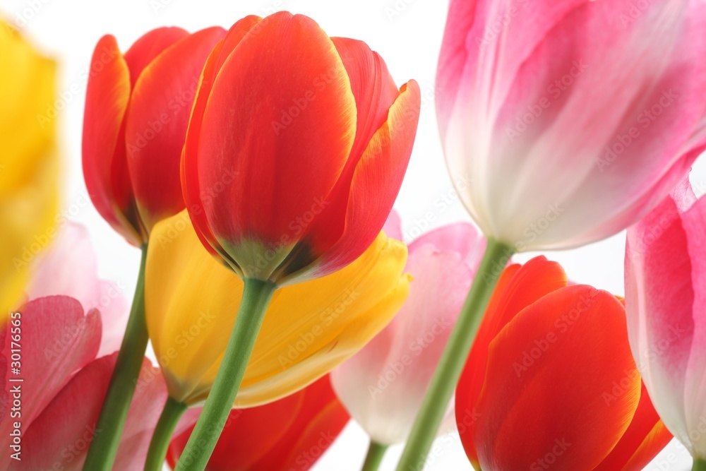 Fototapeta Colorful tulips