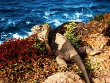 Land Iguana On Galapagos 2