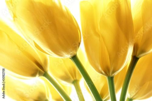 zolte-tulipany