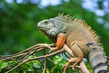 Lazy Iguana On The Tree