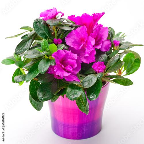 Papiers peints Azalea Blooming pink azalea in a purple pot on white background