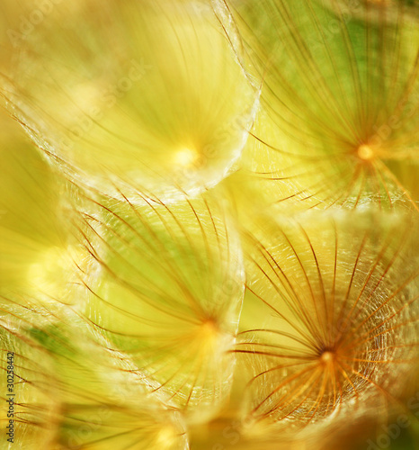 Soft dandelion flower - 30258442