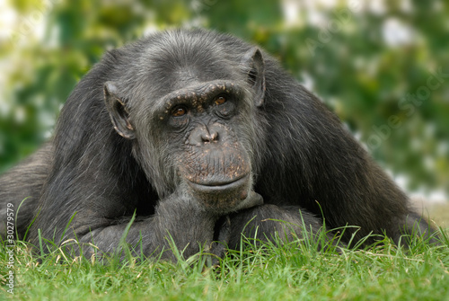 In de dag Aap Schimpanse in menschlicher Pose