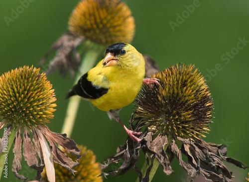 Yellow Bird American Goldfinch Canvas Print