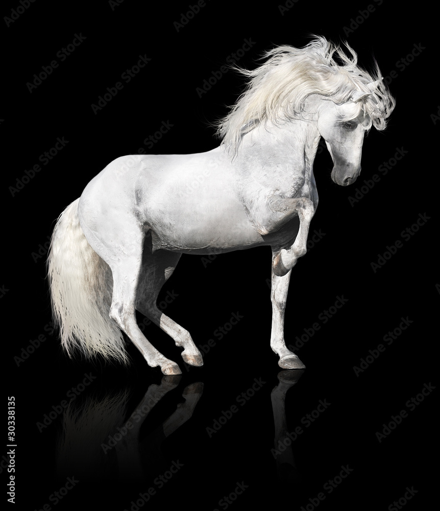 Fototapeta white andalusian horse stallion isolated on black