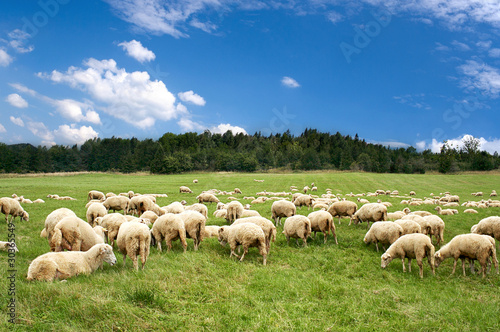 A lot sheep on green meadow