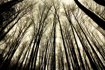 Beech forest in the jungle of Irati. Navarra, Spain