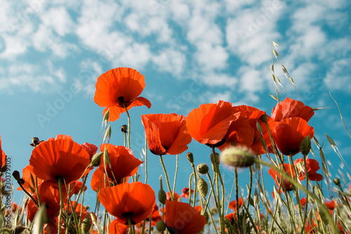 Canvas Prints Poppy Red poppies