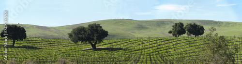 Fotografie, Obraz  dormant grape vines in spring panorama
