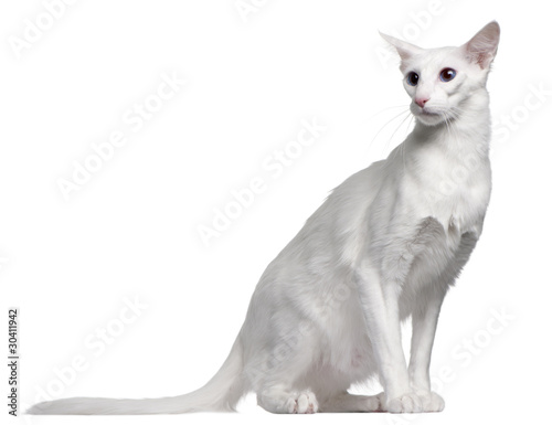 Photo Balinese cat, 11 months old, sitting