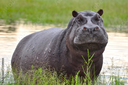 Valokuva Emerging Hippo