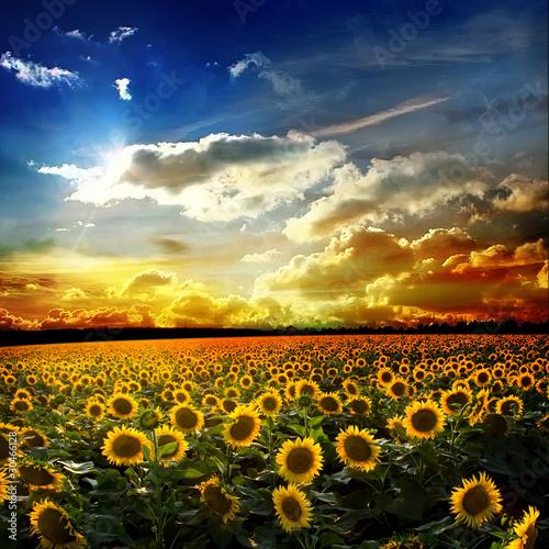 Nowoczesny obraz na płótnie Niekończące się pole słonecznikowe