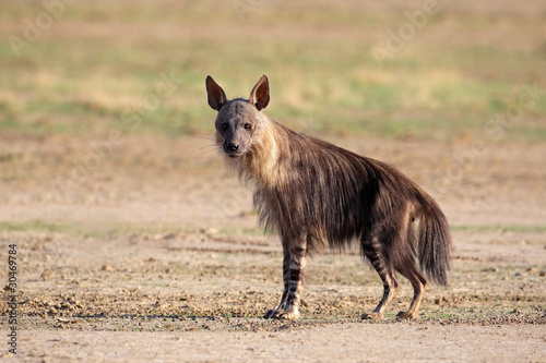 Poster Hyène Brown hyena
