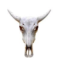 Isolated Bull Skull