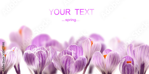 Photo sur Toile Crocus Crocuses on white