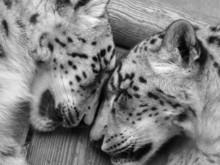 Snow Leopards Sleeping.
