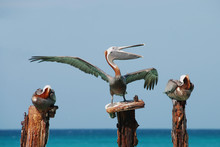 Pelican Singing