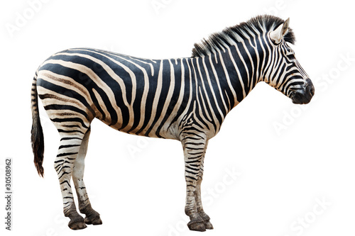 Foto auf Gartenposter Zebra Zoo single burchell zebra isolated on white background