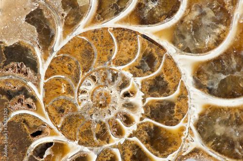 Photo sur Toile Les Textures Ammonite