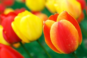 Panel Szklany Tulipany Red and yellow tulips