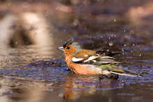 Chaffinch Bathing In The Water