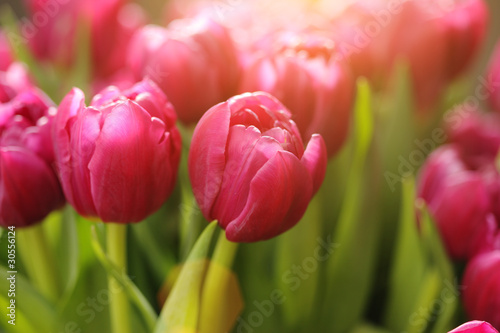 Photo  Red tulip flowers background