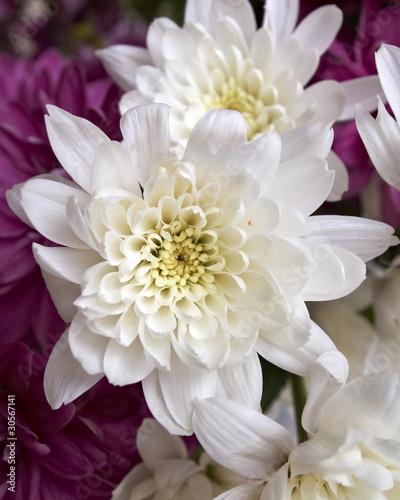 Poster de jardin Dahlia chrysanthemums closeup, natural background
