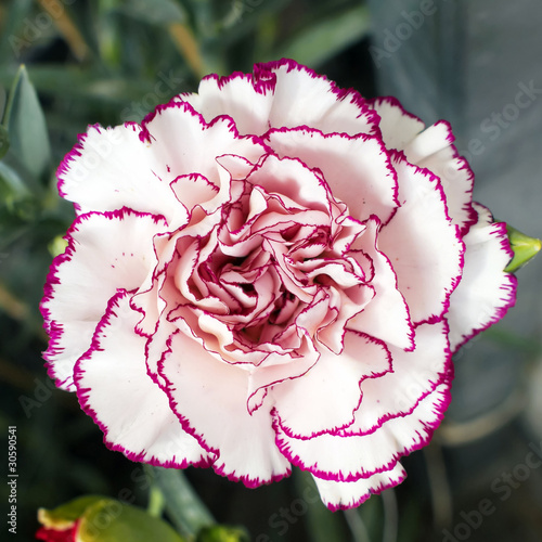 Single white purple carnation  flower, red bud of focus Poster