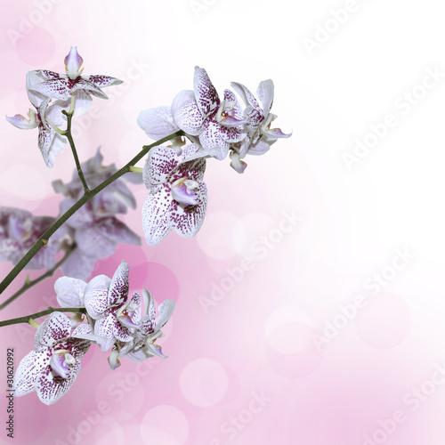 biala-i-purpurowa-orchidea