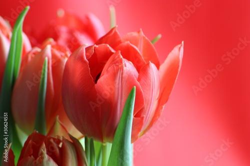 Naklejki tulipany czerwone-tulipany