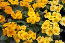 Primeln, Primulaceae