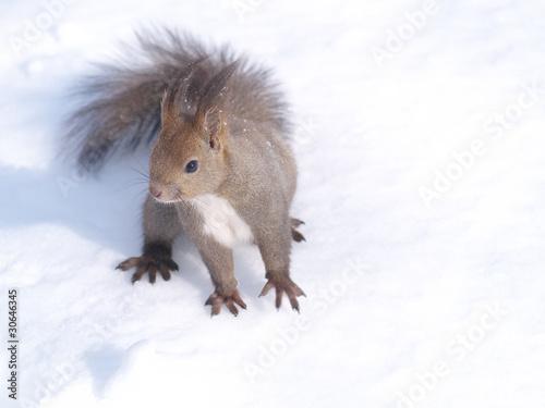 Tuinposter Eekhoorn 雪の上のエゾリス