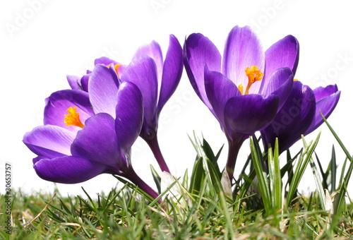 violette Krokusblüten, Gras, weißer Hintergrund
